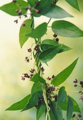 Black Swallow-wort Vine Leaves and Blooms