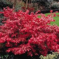 Burning Bush Red Bush