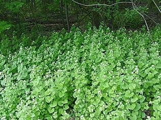 Garlic Mustard Large Bundle of Leaves
