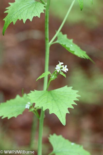 Garlic Mustard Stem with Blooms