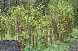 Japanese Knotweed Multiple Plants