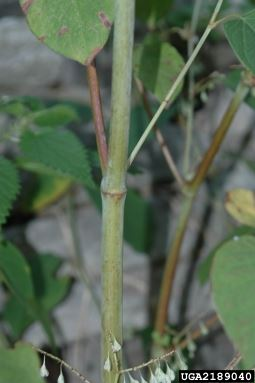 Japanese Knotweed Stem