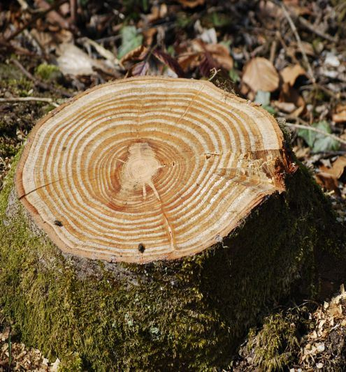 Tree Stump with Large Rings