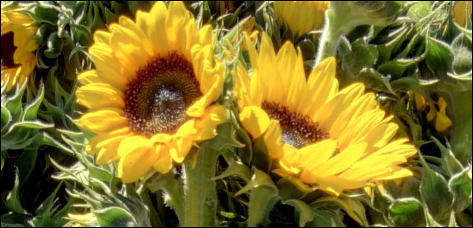 Sunflower Harvest at Mattison Field