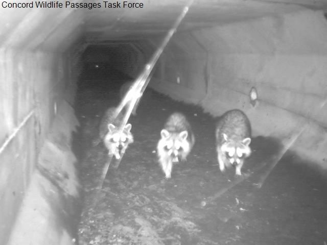 Raccoon on wildlife passage camera